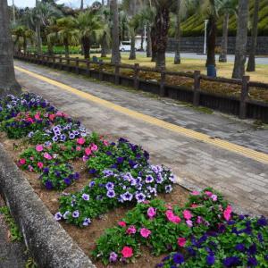 上天草市 天草四郎公園の花に国道沿いの水仙などが見頃でした。(2020年速報)