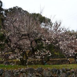 熊本市の梅 だいぶ咲いてきていました。(2020年速報-2)