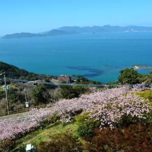 芦北町 御立岬公園の河津桜が満開でした。(2020年速報)