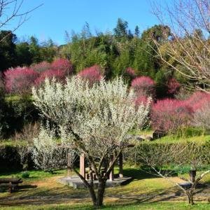 熊本市 谷尾崎梅林公園の梅(2020年-2)