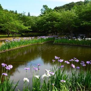 宇土市 立岡自然公園のショウブ園が見頃でした。(2020年速報)