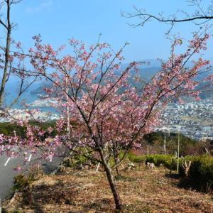 天草市 十万山公園の河津桜(2020年-2)