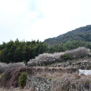 熊本市 谷尾崎地区の梅-2(2020年-3)