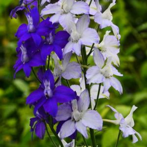 白花のチドリソウ