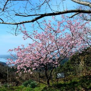 上天草市 維和桜公園の河津桜と緋寒桜(2020年-2)