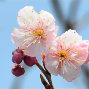 上天草市 大矢野総合スポーツ公園のピンクの桜(2020年-3)