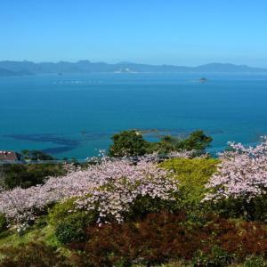 芦北町 御立岬公園の河津桜(2020年)