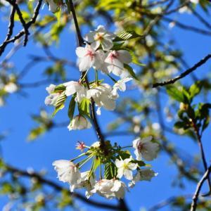 芦北町 御立岬公園の白い桜(2020年)