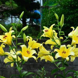 ユリ-4 黄色のユリ