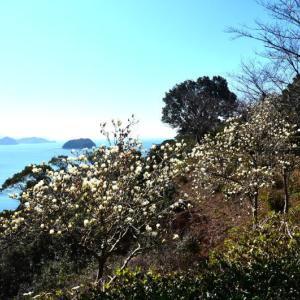 芦北町 御立岬公園の椿とモクレン(2020年)