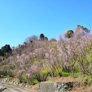 玉名市 実山(げんやま)展望公園の啓翁桜(2020年)