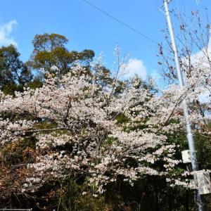 御船町 御船町自然運動公園の早咲き桜(2020年)