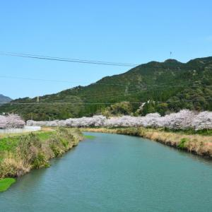 天草市 河浦町・天草コレジヨ庭園の桜(2020年)