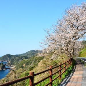 天草市 十三仏公園の桜(2020年)