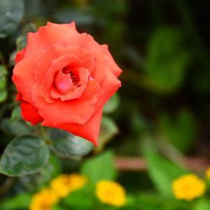 赤いバラとサルビア・コクネシア
