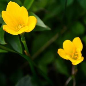黄色のゼフィランサス