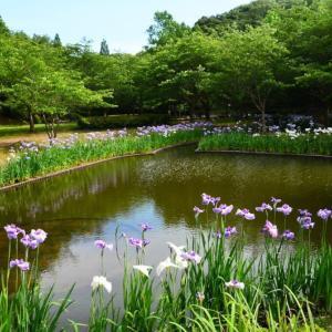 宇土市 立岡自然公園のショウブ園(2020年)