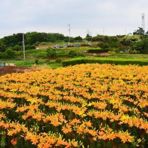 玉名市 横島町・森山さんのユリ畑(2020年)