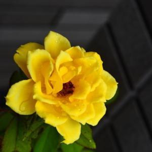 バラ ヘンリーフォンダの2番花