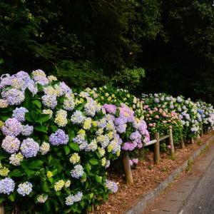 宇土市 住吉自然公園のアジサイ(2020年)