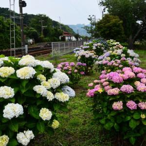 宇土市 JR網田駅のアジサイ(2020年)