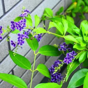 デュランタ タカラヅカと白花