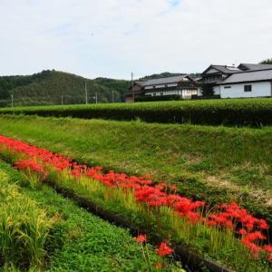 菊池市 伊坂地区のヒガンバナが見頃になり始めていました。(2020年速報)