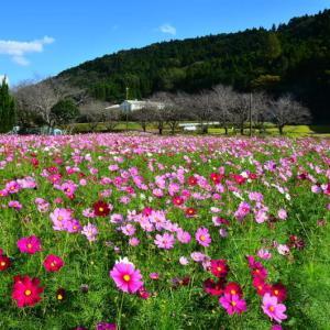 大津町 岩坂地区のコスモスが見頃、西原村 萌の里のコスモスは満開!(2020年速報-5)