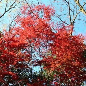美里町の紅葉と黄葉が見頃でした。(2020年速報)