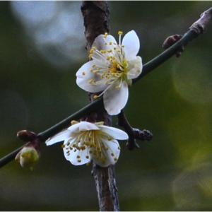 熊本市 谷尾崎梅林公園の鴬宿が咲き始めていました。