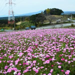 西原村 俵山交流館「萌の里」のコスモス(2020年-5)