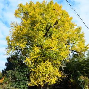 熊本市植木町 「滴水の銀杏」の黄葉(2020年-2)