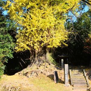 熊本市植木町 「滴水の銀杏」の黄葉(2020年-3)