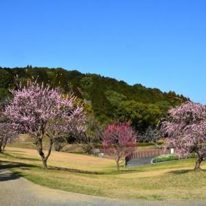 天草市 西の久保公園の梅(2021年-3)