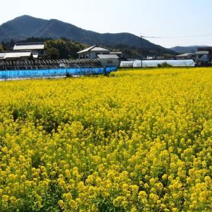 天草市 内柿地区の菜の花(2021年-2)