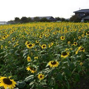 大津町 岩坂・ゲートボール場隣りのヒマワリが見頃でした。(2021年速報)