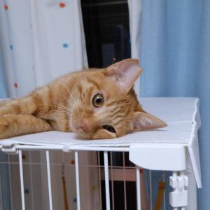 10月20日 日曜日『保護猫のずっとのお家探し里親会』参加猫さん紹介②イチオシ。