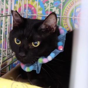 11月24日 日曜日『保護猫のずっとのお家探し里親会』参加猫紹介⑥大っきい猫さん。