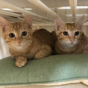 11月24日 日曜日『保護猫のずっとのお家探し里親会』参加猫紹介⑨仲良し茶トラ兄弟。