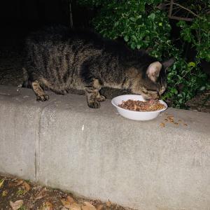 公園猫のキジさん。