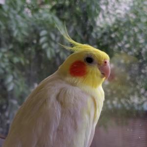 オカメインコのたまこ! 雨の日の過ごし方!放鳥タイム
