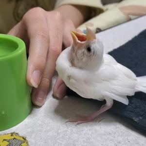 白文鳥のこむぎ 少し成長しました!