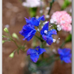 献花 〜青いデルフォニウム〜