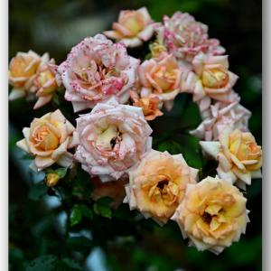 雨に濡れる薔薇 〜スプレーバラ〜