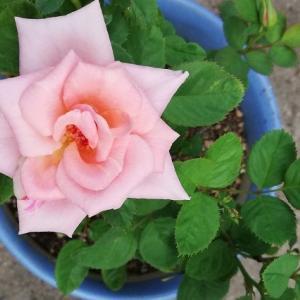 バラの花って 良いですね~(^^)/