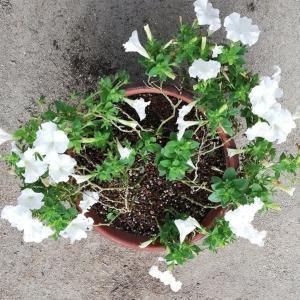 きぬさやエンドウに花が咲き始めました!