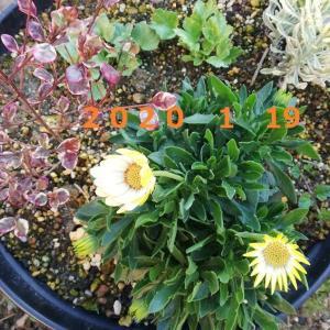 1月19日の・・・私でも咲かせることができる?
