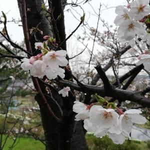 3月27日の・・・雨の日の桜もきれいです~(^_-)-☆