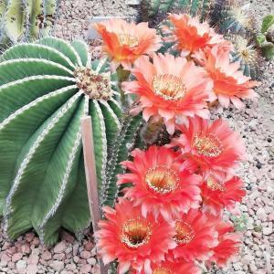 5月26日の・・・サボテンの花