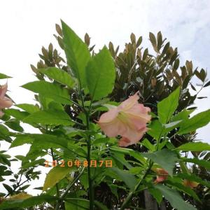8月7日の・・・無花果の季節